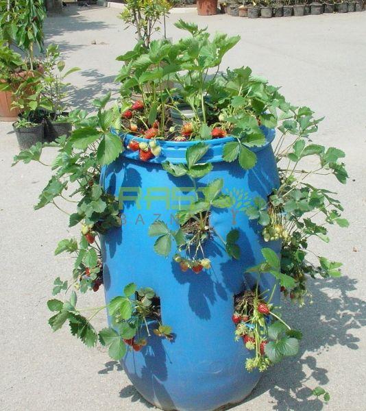 Jagoda penjačica Hummi sorta špalirke - stablašice, atraktivna jagoda za vrt,...